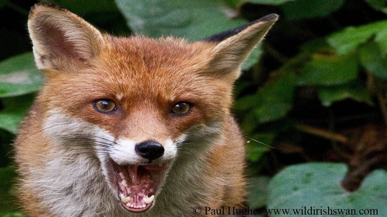What does fox eats