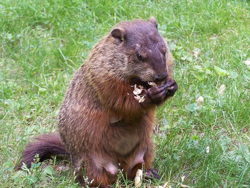 How to cook groundhog