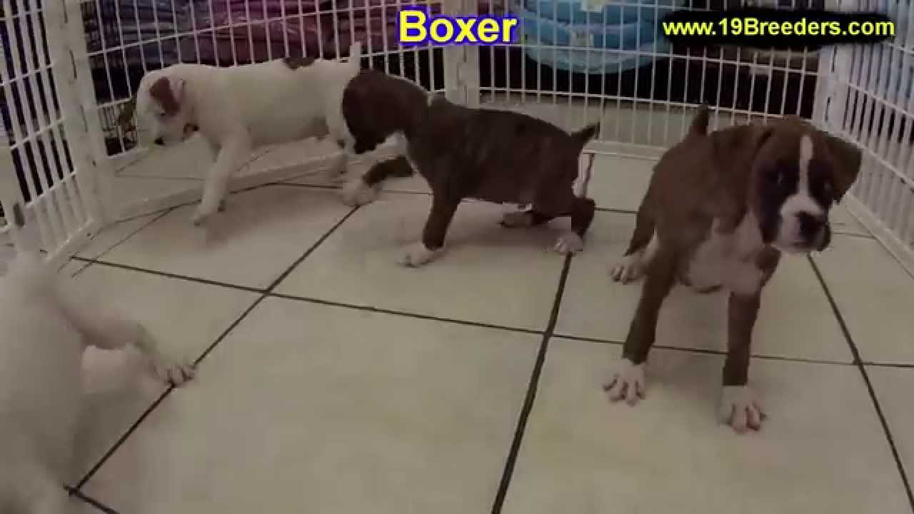 Images of boxer puppy for sale near me craigslist