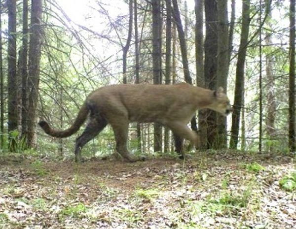 Cougar sightings in michigan