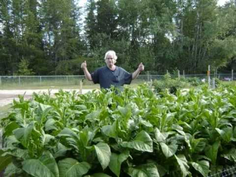 Growing your own tobacco