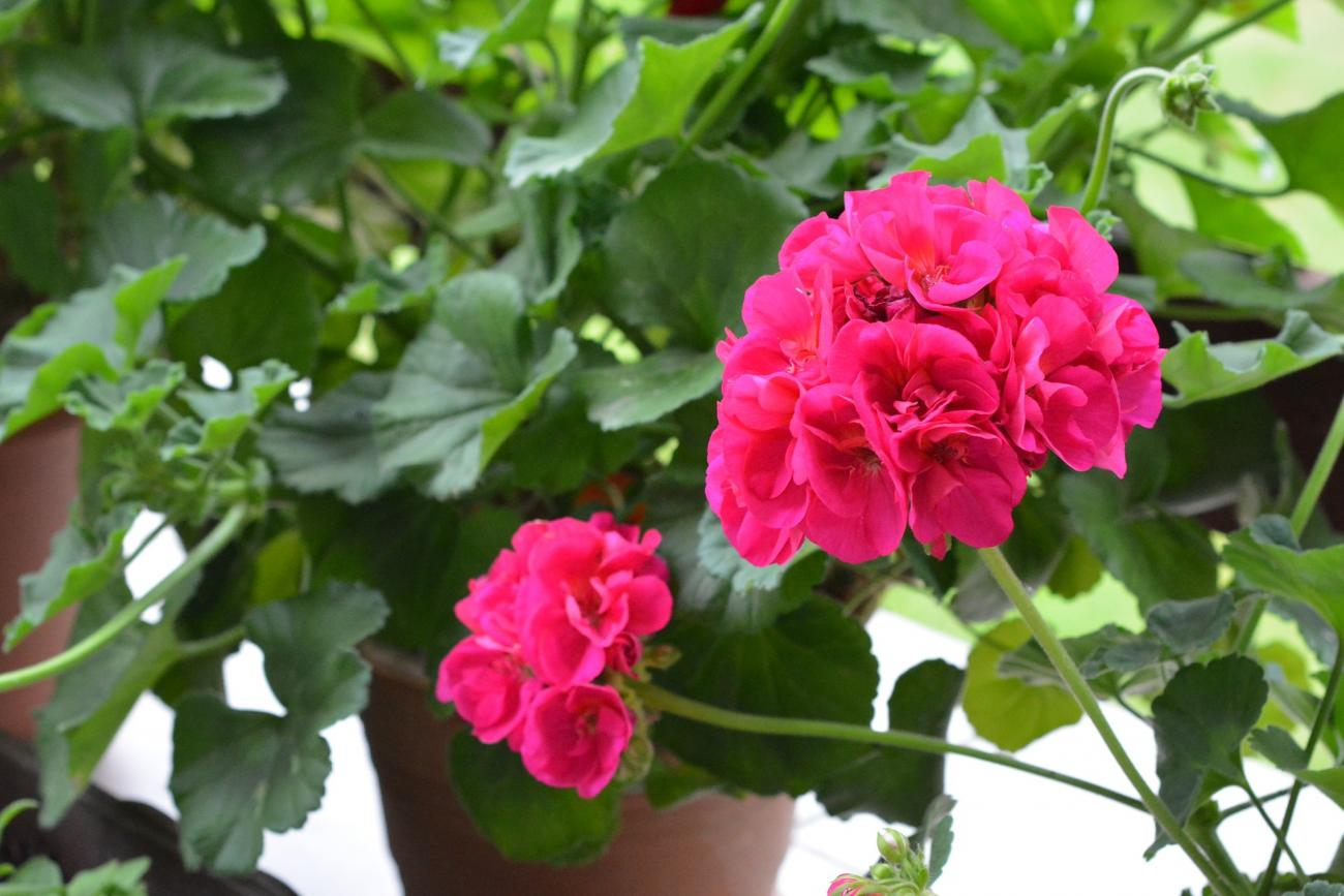 Will geraniums come back